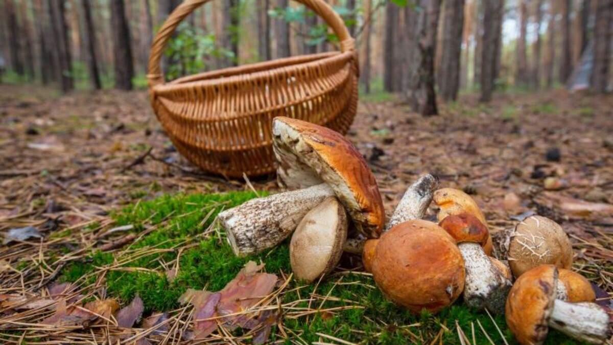 Куди поїхати на гриби під Києвом