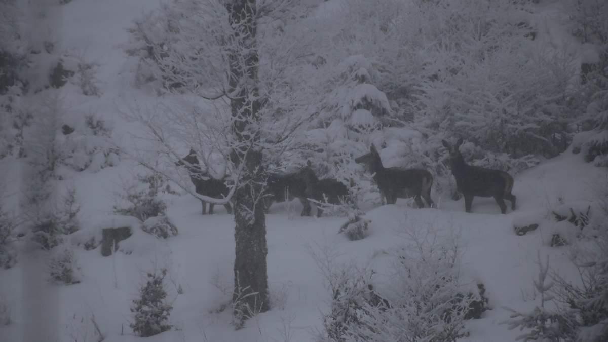 Мандрівник у Карпатах спіймав на камеру стадо оленів