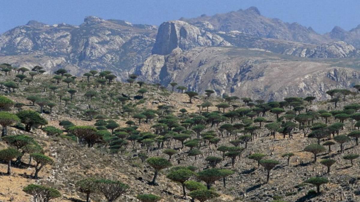 Драконові дерева на острові Сокотра