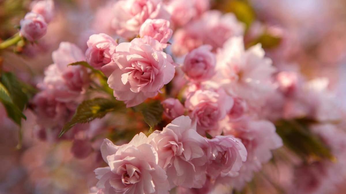 В Ужгороді масово квітнуть рожеві сакури