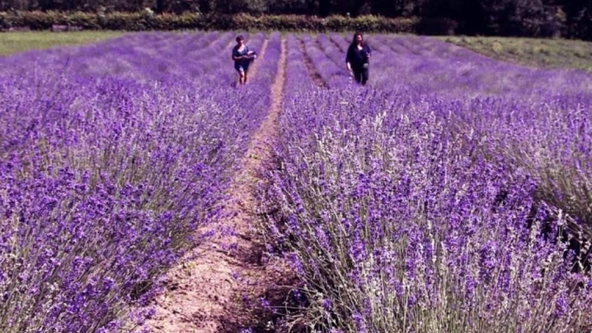 Український Прованс: на Буковині висадили півтора гектара французької лаванди