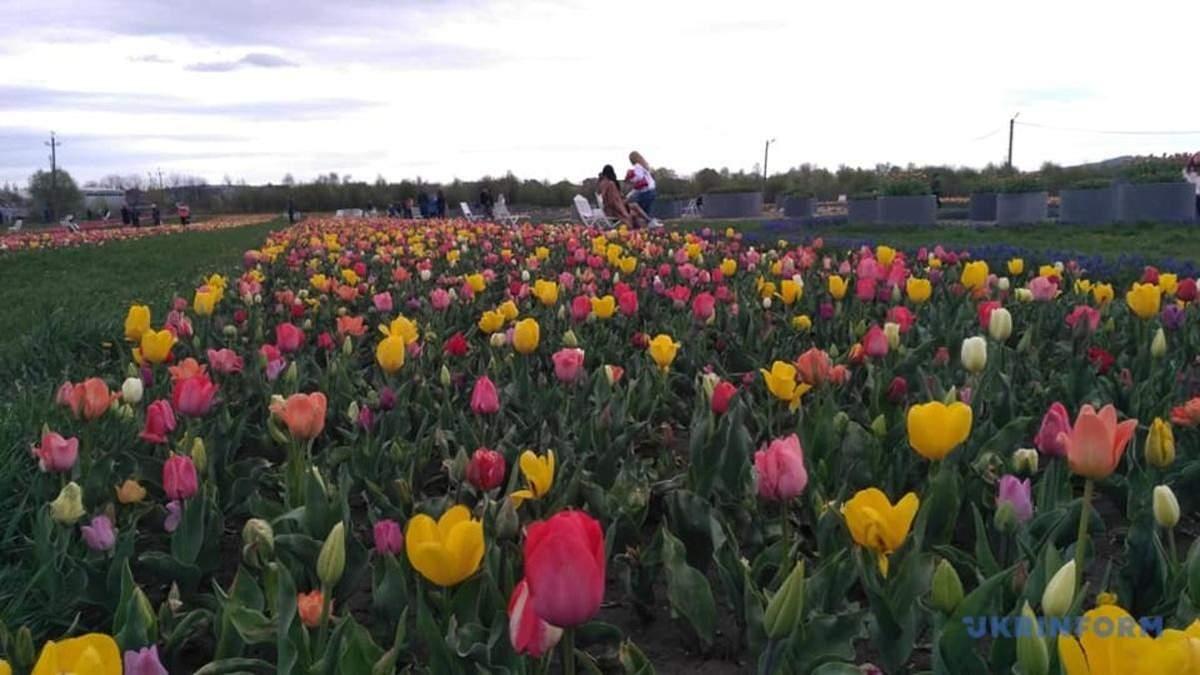 Тюльпанові поля Буковини розквітли: мальовничі фото