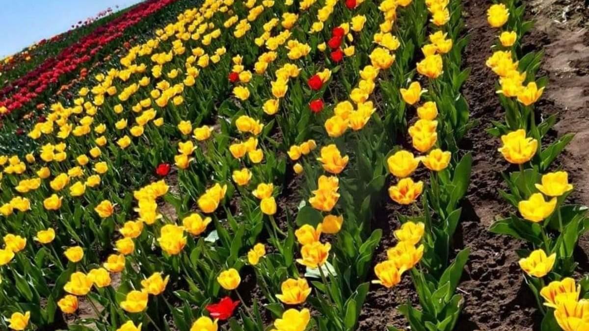На Хмельнитчине расцвело тюльпаново-нарциссовое поле
