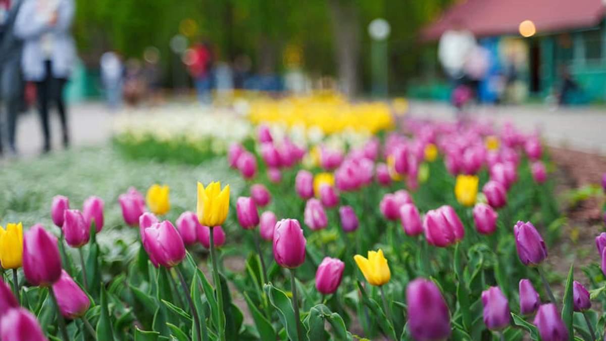 В Виннице на аллеях Центрального парка расцвело 40 тысяч тюльпанов