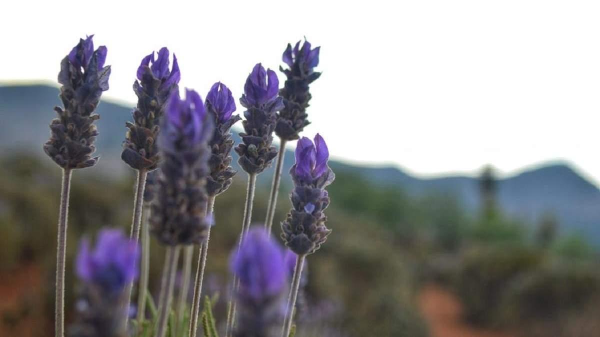 На Вінниччині розквітло лавандове поле – фото
