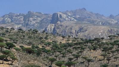 Инопланетные деревья на острове Сокотра, в которых течет кровь дракона: фото
