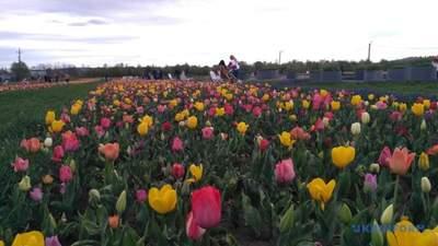 Тюльпанные поля Буковины расцвели: живописные фото
