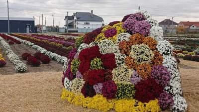 Еще одна причина поехать в Черновцы: недалеко от города расцвело хризантемовое поле