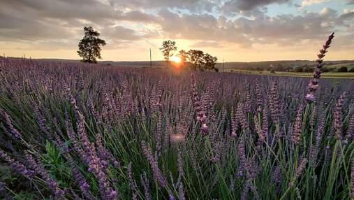 Наче у Франції: фото лавандового поля на Львівщині зачарувало красою